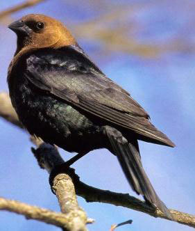 Brown-headed cowbirds コウウチョウ